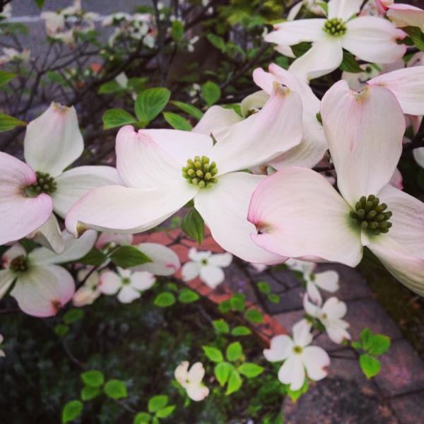 ハナミズキ 花水木1