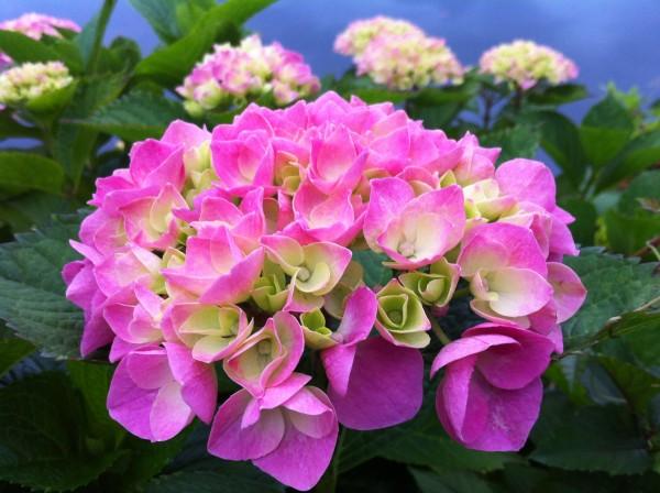 アジサイ 紫陽花 1