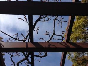 フジ(藤 ) マメ科フジ属のつる性落葉3