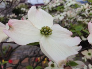 ハナミズキ 花水木4