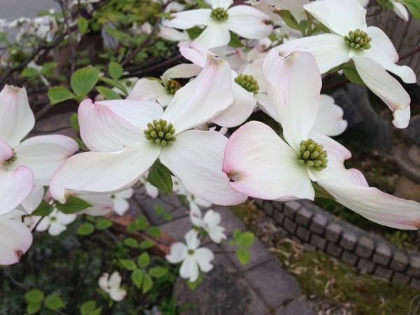 ハナミズキ 花水木2