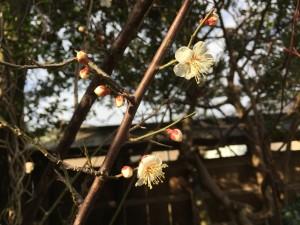 梅もさきました^^