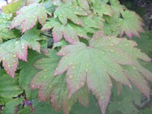 葉っぱがかわいいハウチワカエデ 3