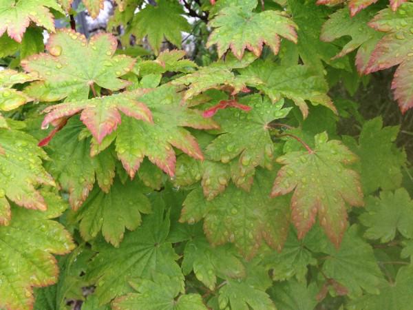 葉っぱがかわいいハウチワカエデ 1