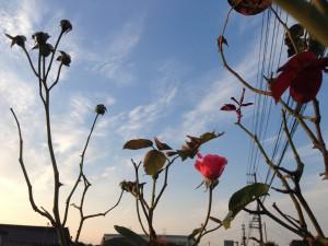 葉っぱ落としてしまった四季咲きのバラ