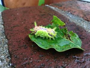 庭にいる危険な虫 イラガ