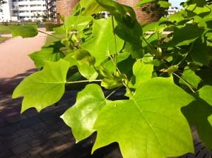 ユリノキ 百合の木 tuliptree3