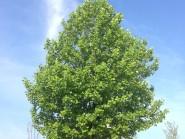 ユリノキ 百合の木 tuliptree