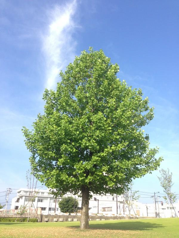 ユリノキ 百合の木 tuliptree1