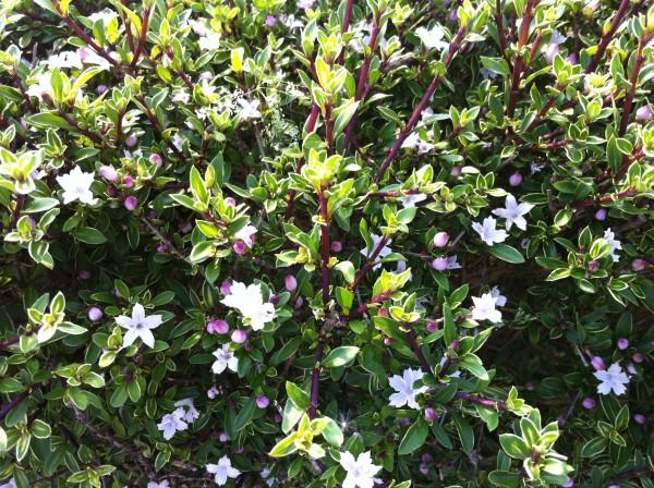 ハクチョウゲ 白丁花2