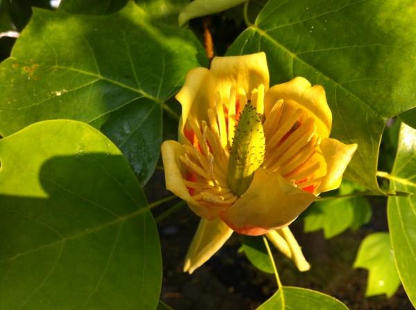 ユリノキ 百合の木 tuliptree2