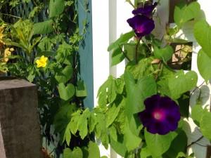ラチスを上るアサガオとゴーヤの花