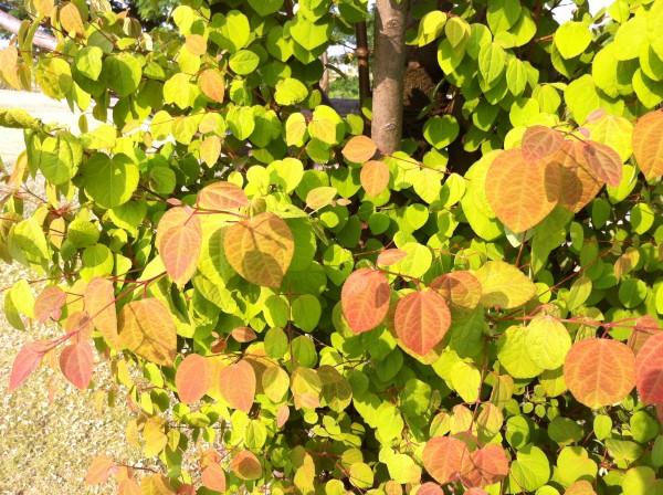 葉っぱがかわいい カツラ1