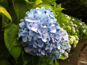 アジサイ 紫陽花 3