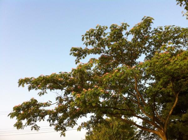 ネムノキ 合歓の木 2
