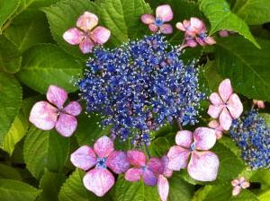 アジサイ 紫陽花 4