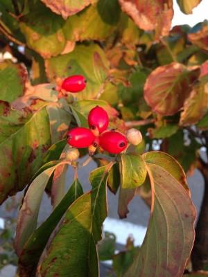 ハナミズキ 花水木3