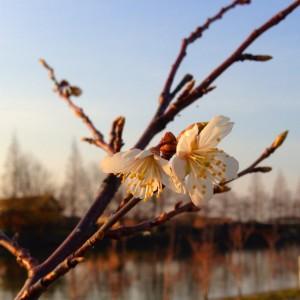 cherryblossoms サクラ 桜